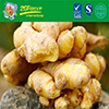 Supply New Season Fresh Ginger