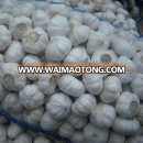 wholesale garlic buyers and fresh normal white garlic 60cm